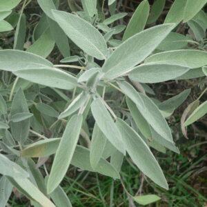 Salvia_officinalis_p1150381