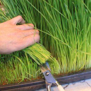 harvestingwheatgrass1